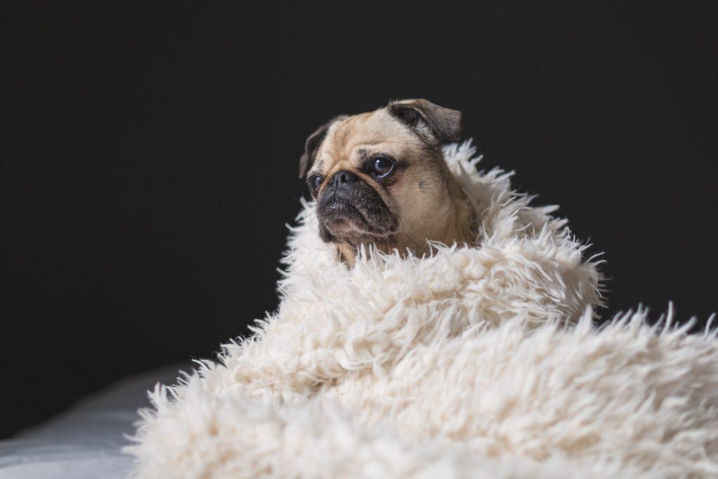 a pug in a blanket