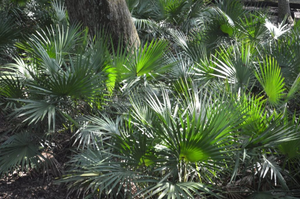saw palmetto, which supports healthy hair growth