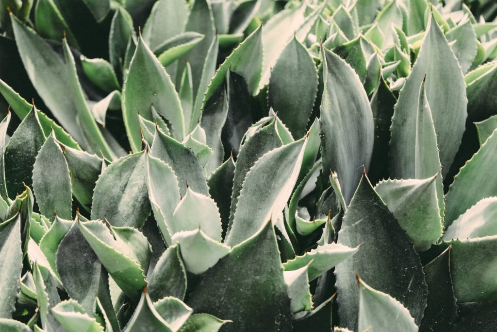 bird's eye view shot of several large aloe vera plants