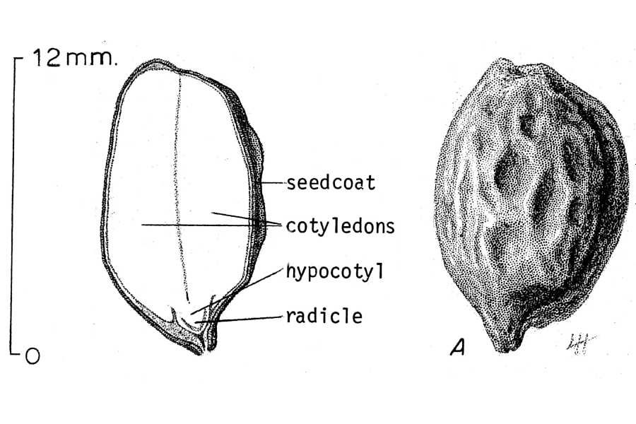 a scientific sketch of a jojoba seed