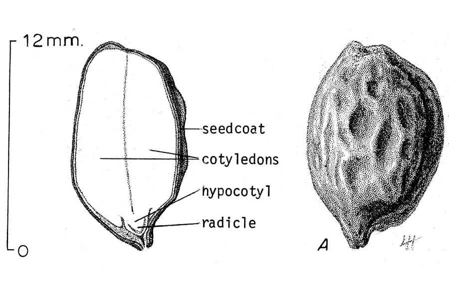 a scientific sketch of a jojoba seed