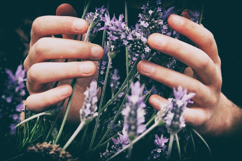 hands hold a bunch of lavender