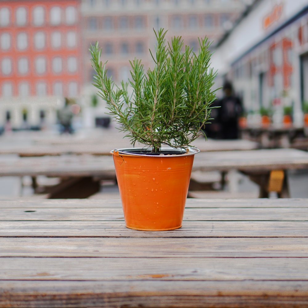 an orange metal pot holds a small rosemary plant