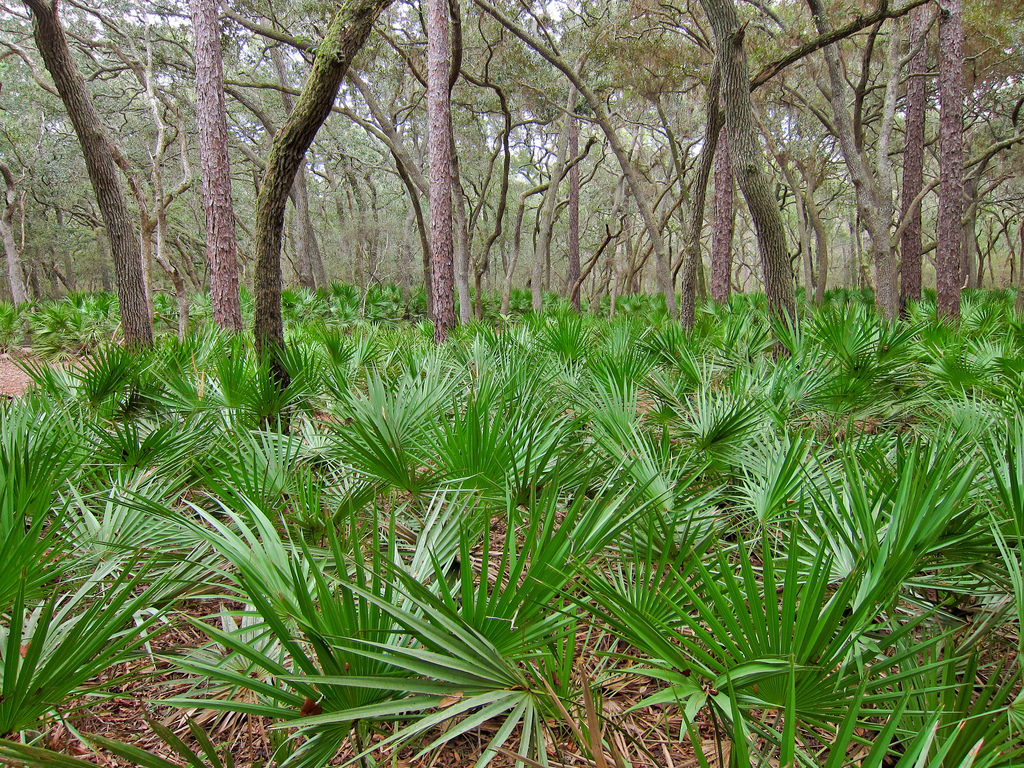 saw palmetto plants in a forest